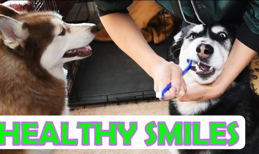 3 Ways To Maintain A Siberian Huskys Dental Health