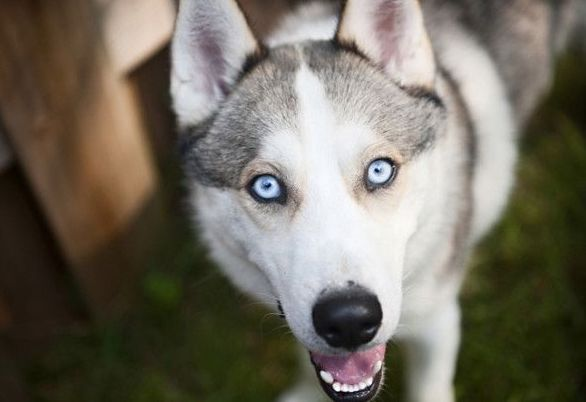 CBD for Dogs – Siberian Husky