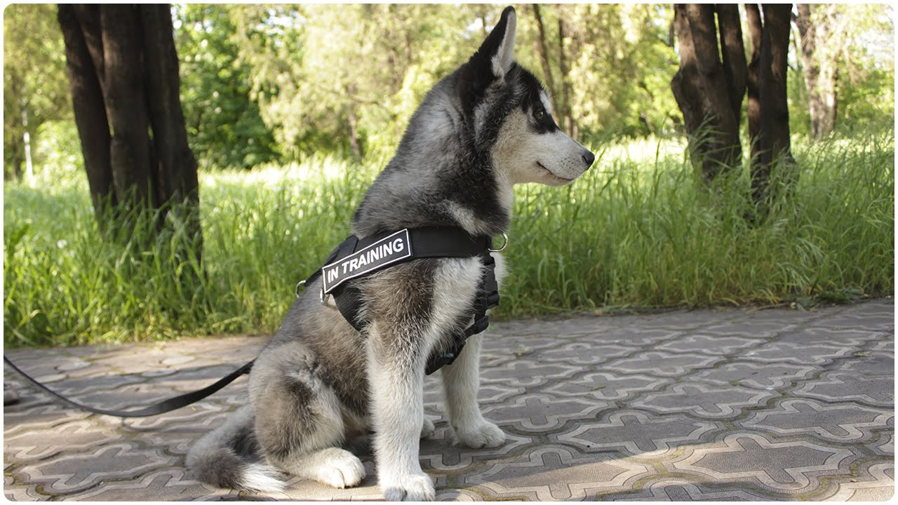 siberian husky wearing dog harness
