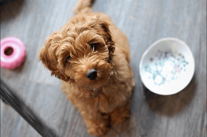 Goldendoodle waiting on food