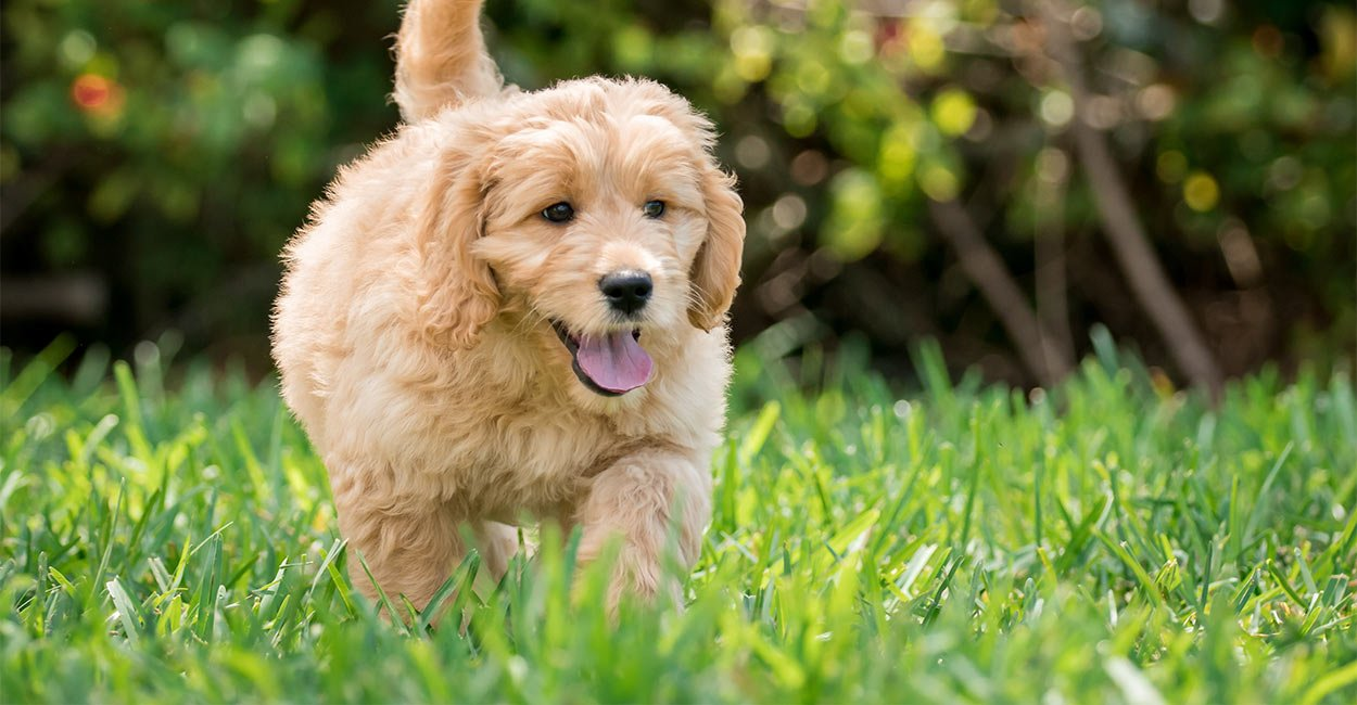 Goldendoodle running through grass