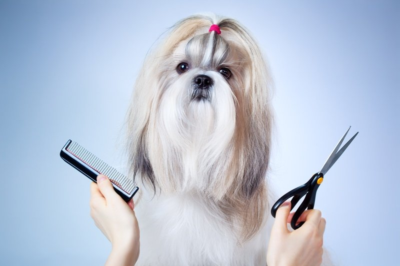 how to groom your shih tzu