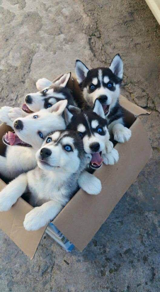 Box full of huskies