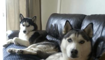 2_siberian_huskies_sitting_on_couch