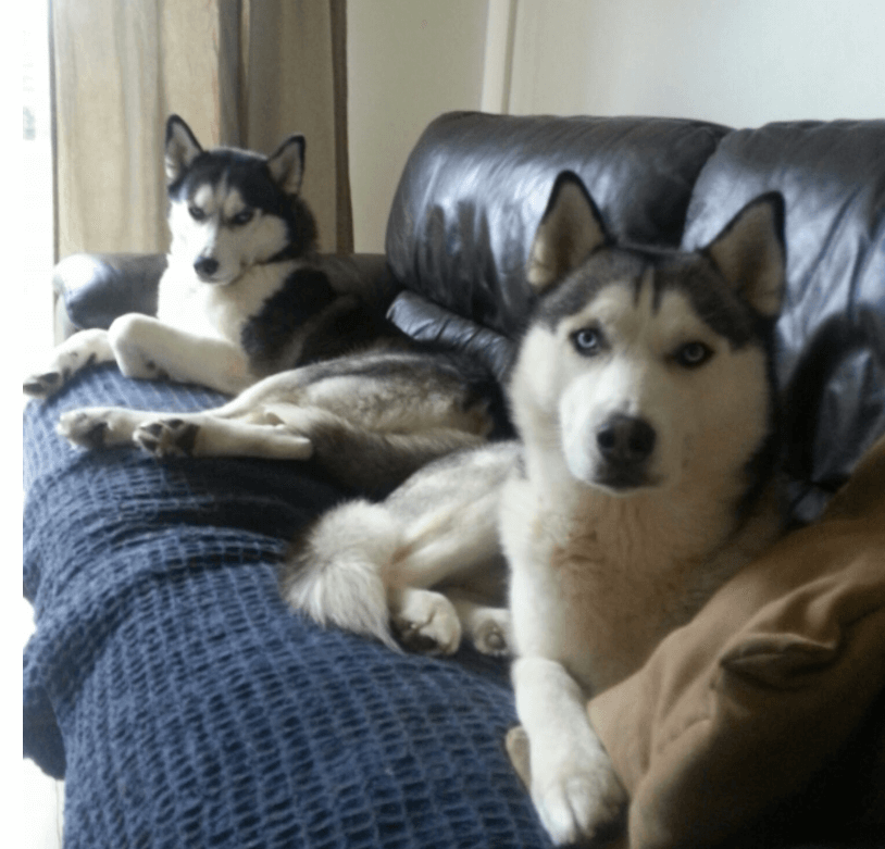 2 siberian huskies sitting on couch
