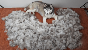 Husky surrounded by fur
