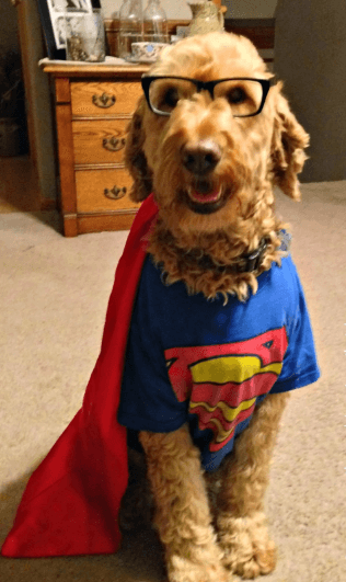 Goldendoodle dressed as Superman