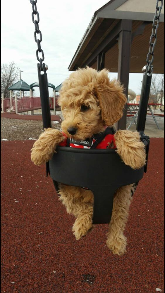 Goldendoodle on a swingset