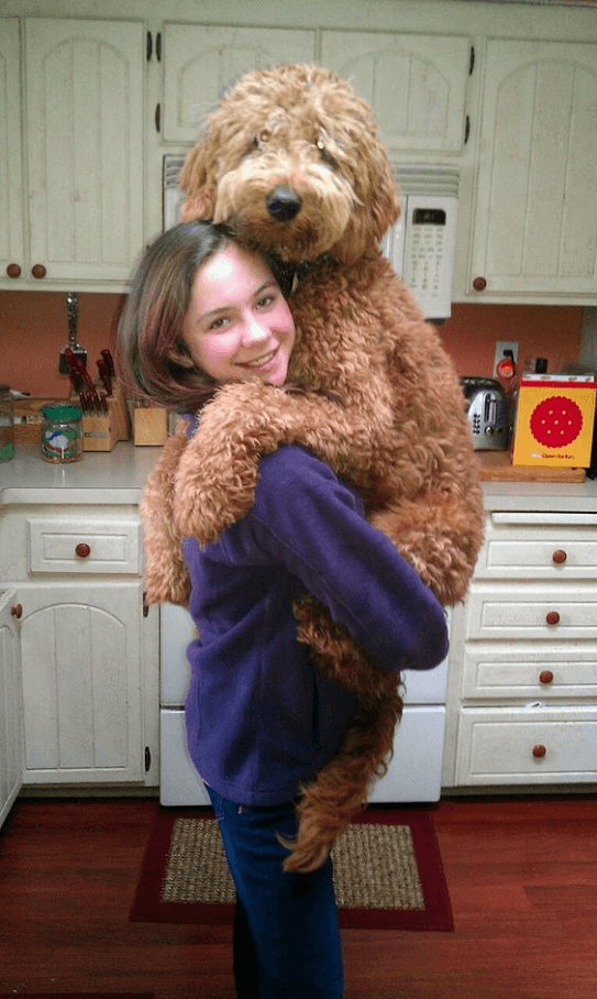 GOldendoodle hugging a girl