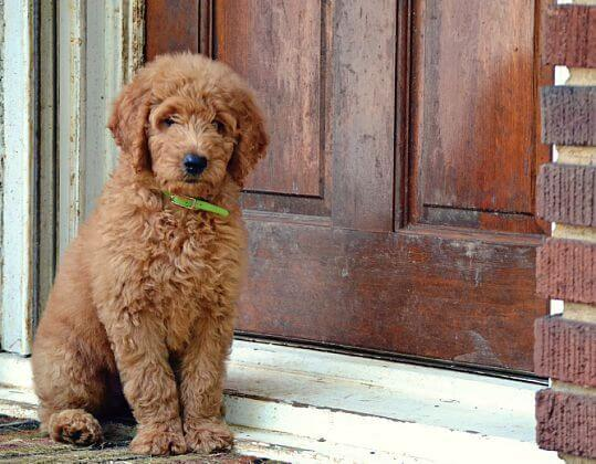 Sad goldendoodle waiting by the door