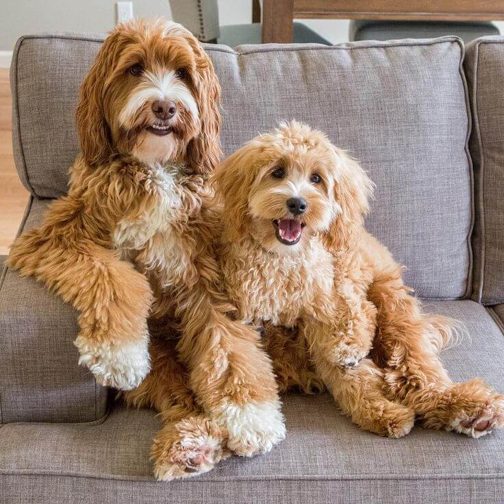 Two goldendoodles smiling on the couch