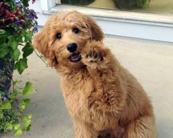 waiving_goldendoodle