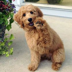 waiving goldendoodle