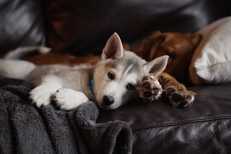 Husky Puppy laying on counch