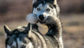Everything You Know About The Siberian Husky Breed