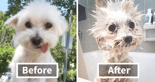 Dog being cleaned by deep cleaning dog shampoo and conditioner