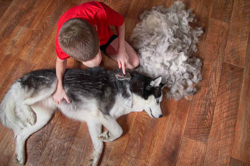 How To Groom A Husky