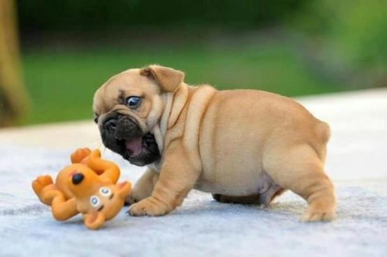 Chubby puppy playing with a toy