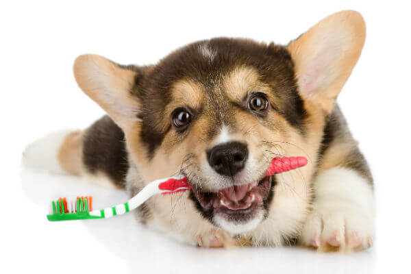 Professional Tips to Groom Your Dogs Eyes, Ears and Teeth at Home