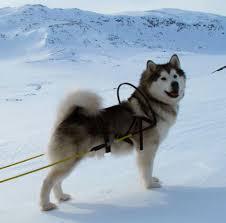 Alaskan Malamute Sled