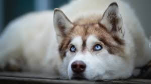 Husky Brown Coat Blue Eyes