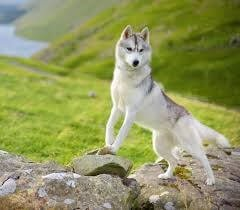 Husky on Hill