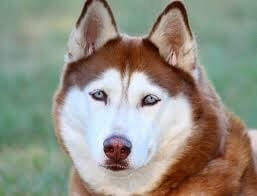 Husky Brown