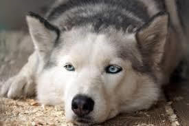 Husky lying down