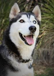 Siberian Husky Two Tone Eyes