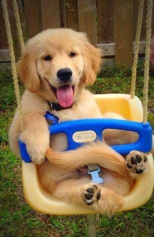 baby golden retriever in a stroller
