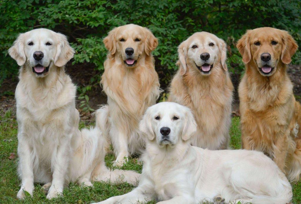 family of golden retrievers