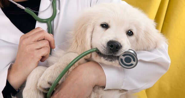 golden retriever at the vets