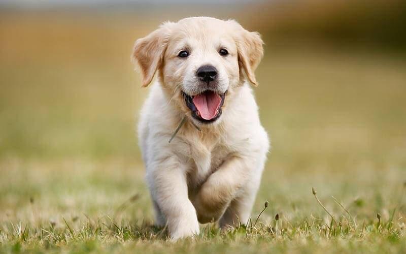 happy baby golden retriever