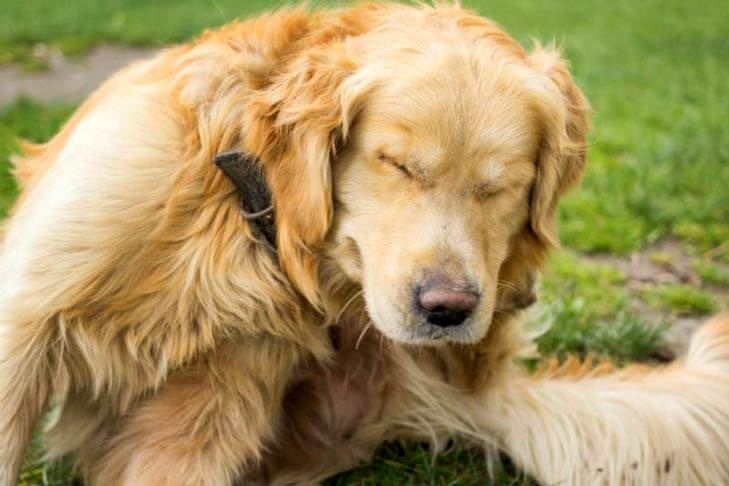 upset golden retriever with closed eyes