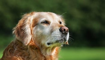 dog-with-arthritis-2
