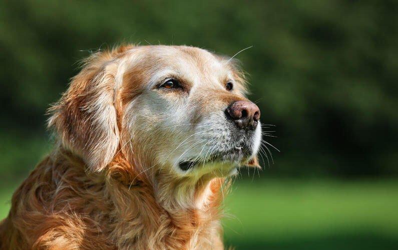 dog-with-arthritis-2