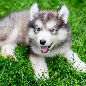 miniature-husky-long (1)