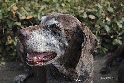senior dog 3