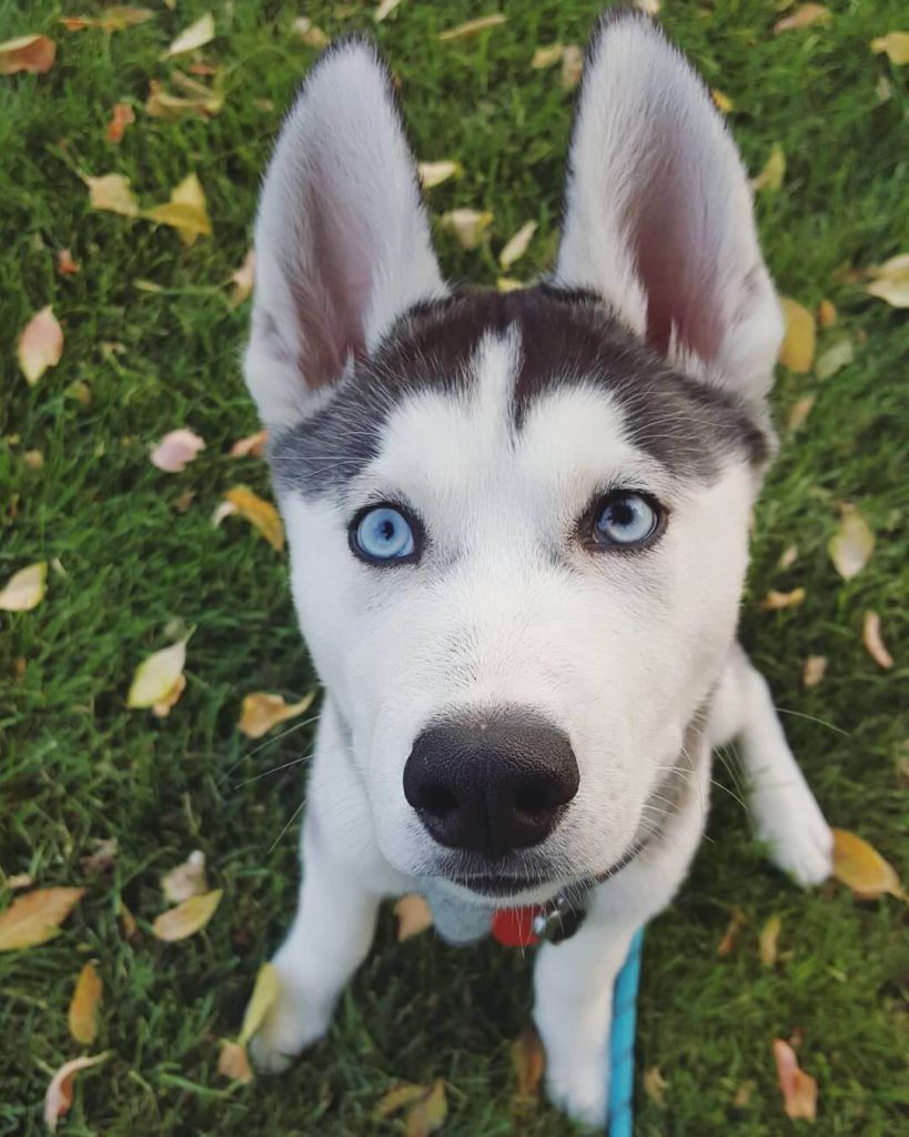 Siberian Husky Blue Eyes
