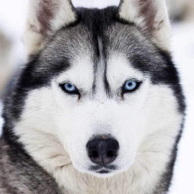 Siberian Husky Close Up