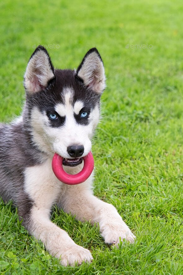 Siberian Husky Play Red Toy Grass