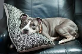 Dog on couch with pillow