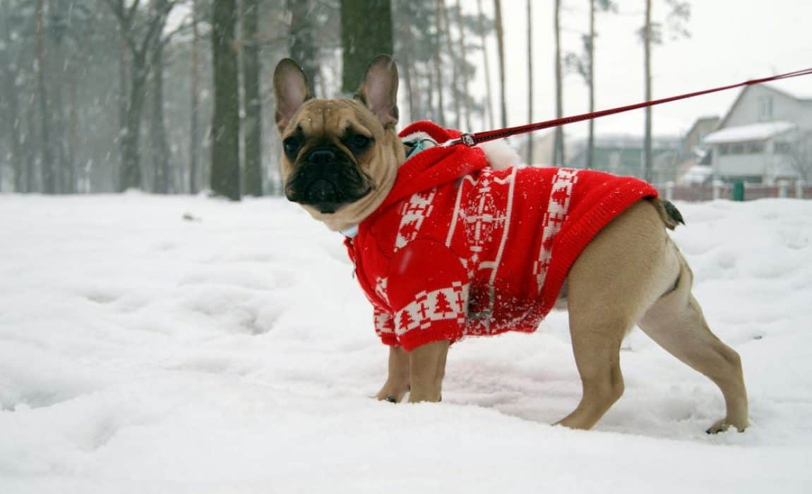 Dog in Sweater in Snow