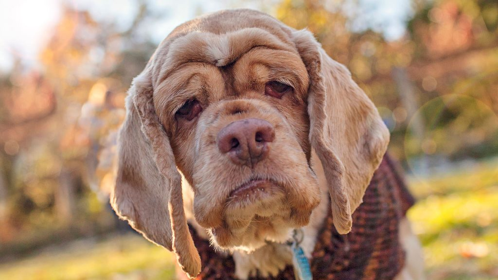 Senior Dog Wrinkles