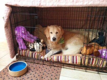Golden in Cozy Crate