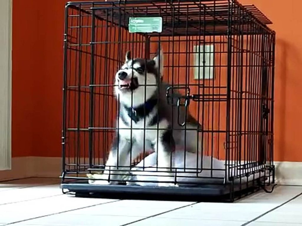 Husky Biting Crate