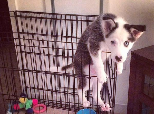 Husky Puppy Playpen