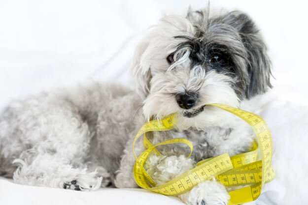 Dog With Yellow Measuring Tape