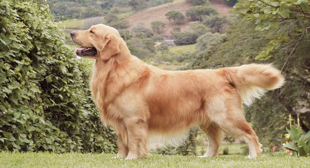 golden retriever fun facts