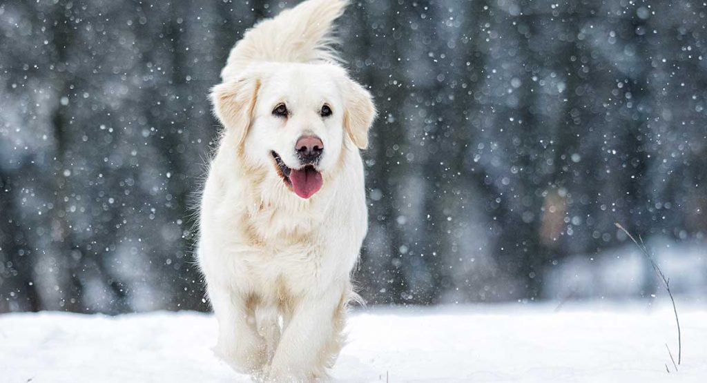 White European Retriever